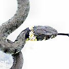 Juvenile grass snake in high key by missmoneypenny