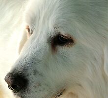 Great Pyrenees by Robin Nellist