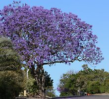 Jacaranda tree by PhotosByG
