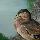 Duck by Diana Forgione