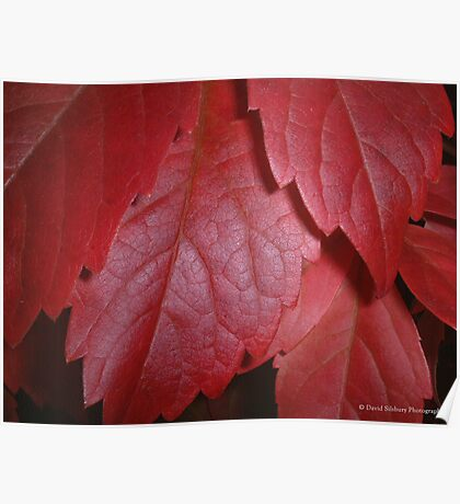 Virginia Creeper (Parthenocissus Quinquefolia) Poster