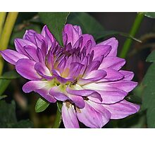 Find The Bug On The Dahlia Photographic Print