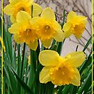 Happy Daffs by Eugenio
