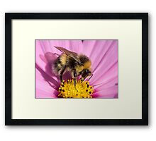 Bumble bee - Bombus lucorum Framed Print