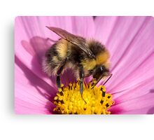 Bumble bee - Bombus lucorum Canvas Print