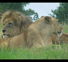 Big cats close up by amylw1