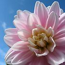 Baby Pink in a Blue Sky by Orla Cahill Photography