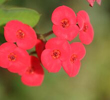 Crown of Thorns Flowers by ElyseFradkin
