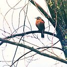 Robin in a Tree by Nazareth