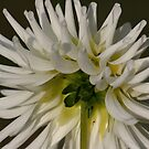 White Dahlia Two by Pamela Jayne Smith