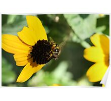 Hoverfly on a Black-eyed Susan Poster