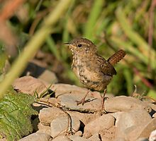 wren by Jon Lees