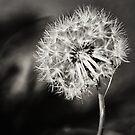 Dandelion by Milos Markovic
