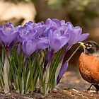 Robin in the spring flowers by LudaNayvelt