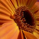 Orange Gerbera 2 by Framed-Photos