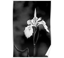 Wild Iris - Black & White Photo Painting Poster