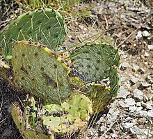 Texas Cactus by stevelink