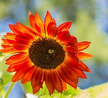 Sunflower 2 by John Velocci