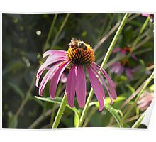 Honeybee on Purple coneflower Poster