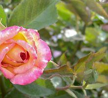 Pink Wink by trueblvr