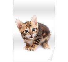 Funny ginger tabby kitten bengal Poster