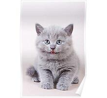 Fluffy gray kitten British Poster