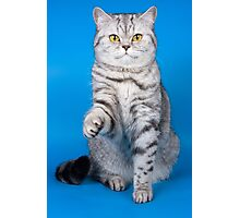 Tabby cat with a raised paw Britan Photographic Print