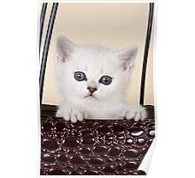 White British kitten with big eyes Poster