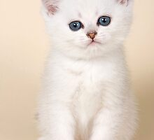 White British kitten with big eyes by utekhina