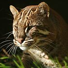 Asiatic Golden Cat by Linda More