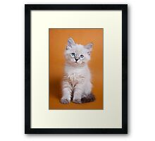 White fluffy Siberian cat Framed Print