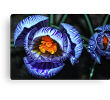 Glowing Crocus Canvas Print