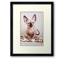 Sphynx kitten with blue eyes, no hair Framed Print