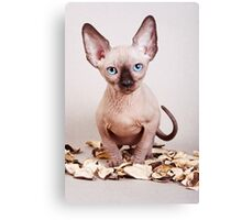 Sphynx kitten with blue eyes, no hair Canvas Print