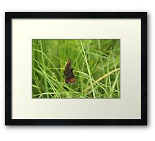 Scotch argus butterfly Framed Print