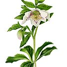 Spotted Hellebore by Maureen Sparling