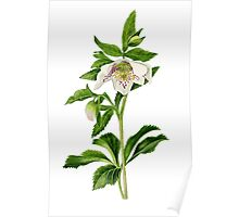 Spotted Hellebore Poster