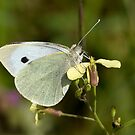 Female Large white butterfly by Carole Stevens
