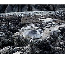 Baby harbour seal Photographic Print