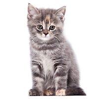 Cute gray kitten Photographic Print