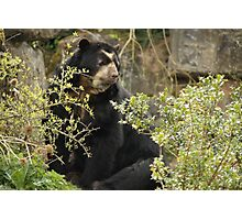 Spectacled bear Photographic Print