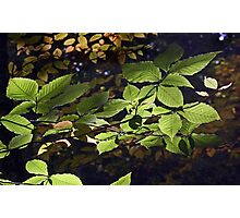 Backlit Leaves Photographic Print
