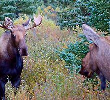 Moose couple by HampusCE