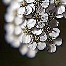 White Yarrow.... by Patriciakb