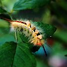 White-marked Tussock Moth /catapilar  from the east  by Nadine  Birge