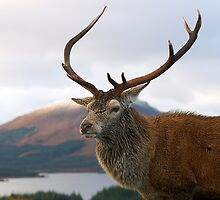 Highland Stag by Jeanie