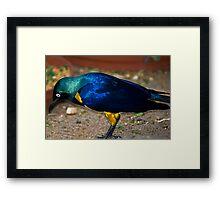 Royal Starling - Golden Breasted Starling Framed Print