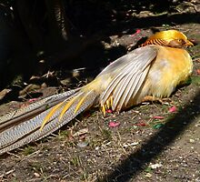 Golden Pheasant at Abbotsbury , Dorset UK by lynn carter