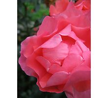 Salmon Pink Rose Photographic Print