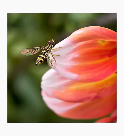 Hoverfly on dahlia petal Photographic Print